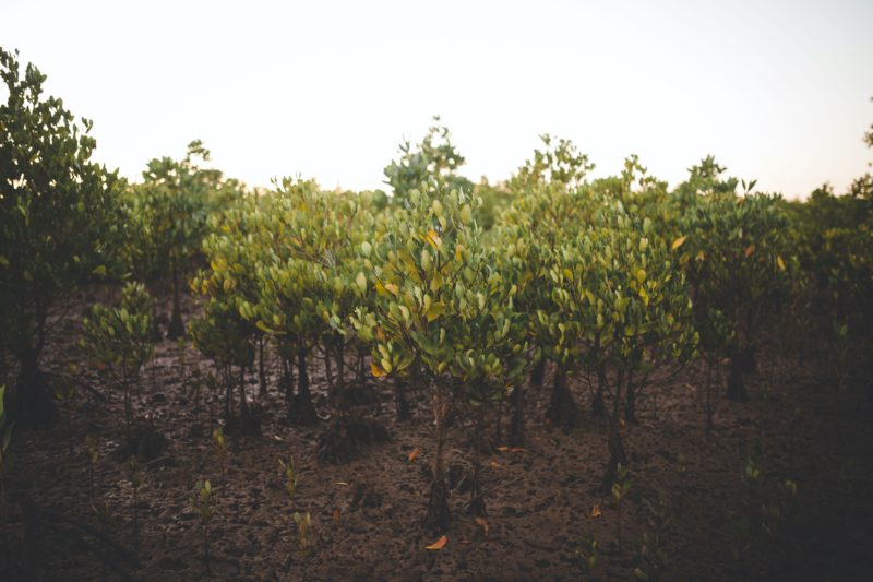 planted mangroves