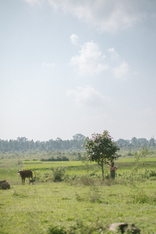 field and cow