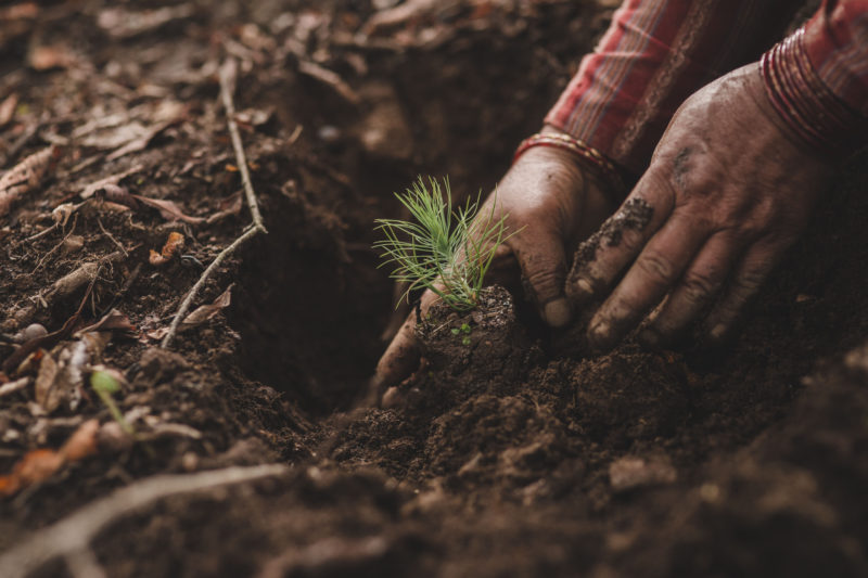 seedling being planted