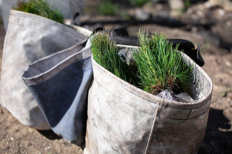 sapling in a bag