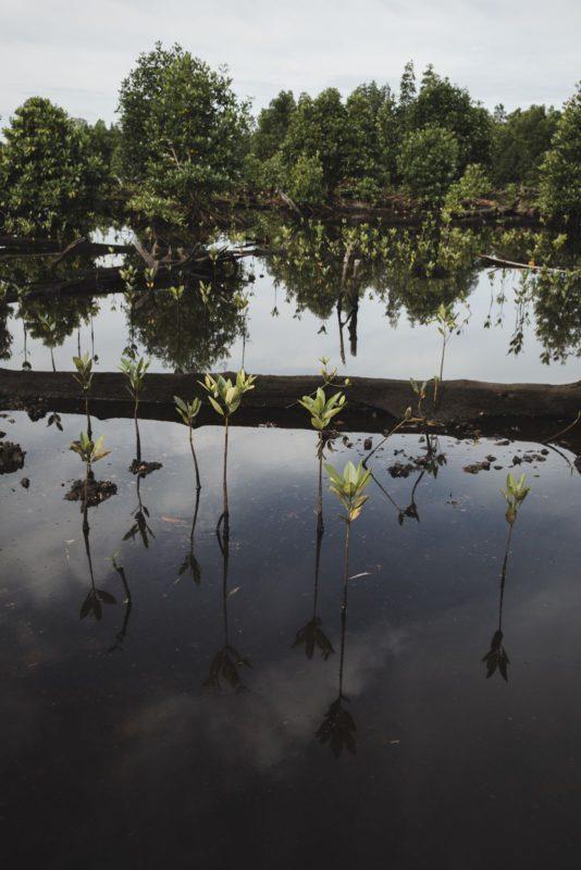 baby mangrove saplings