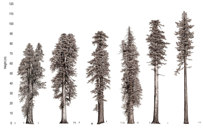 red wood illustration