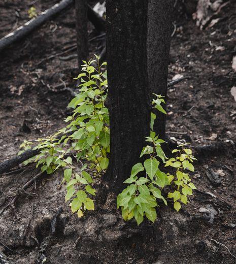alder seedlings